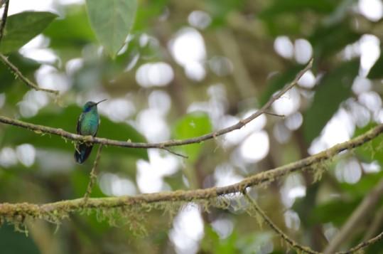 Sparkling Violetear Hummingbird.