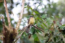 Streak-necked Flycatcher