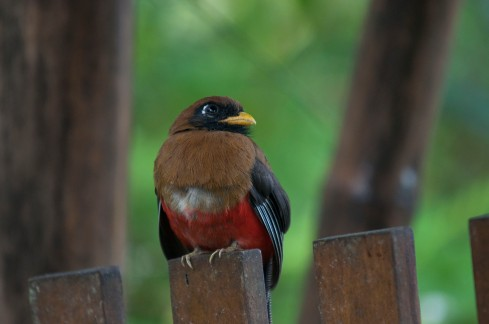 Female Masked Trogon hanging out near the lodge on a rainy afternoon.