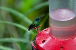 Green Violetear Hummingbird