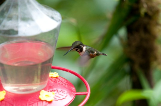 Possibly a Purple Throated Woodstar Hummingbird - anyone care to chime in?