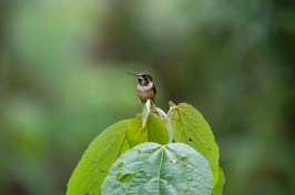 An unidentified hummingbird - any help would be appreciated!