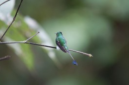 Booted Racket-tail Hummingbird.