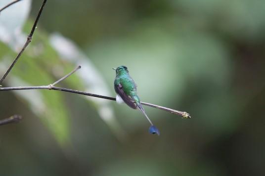 Booted Racket-tail Hummingbird.