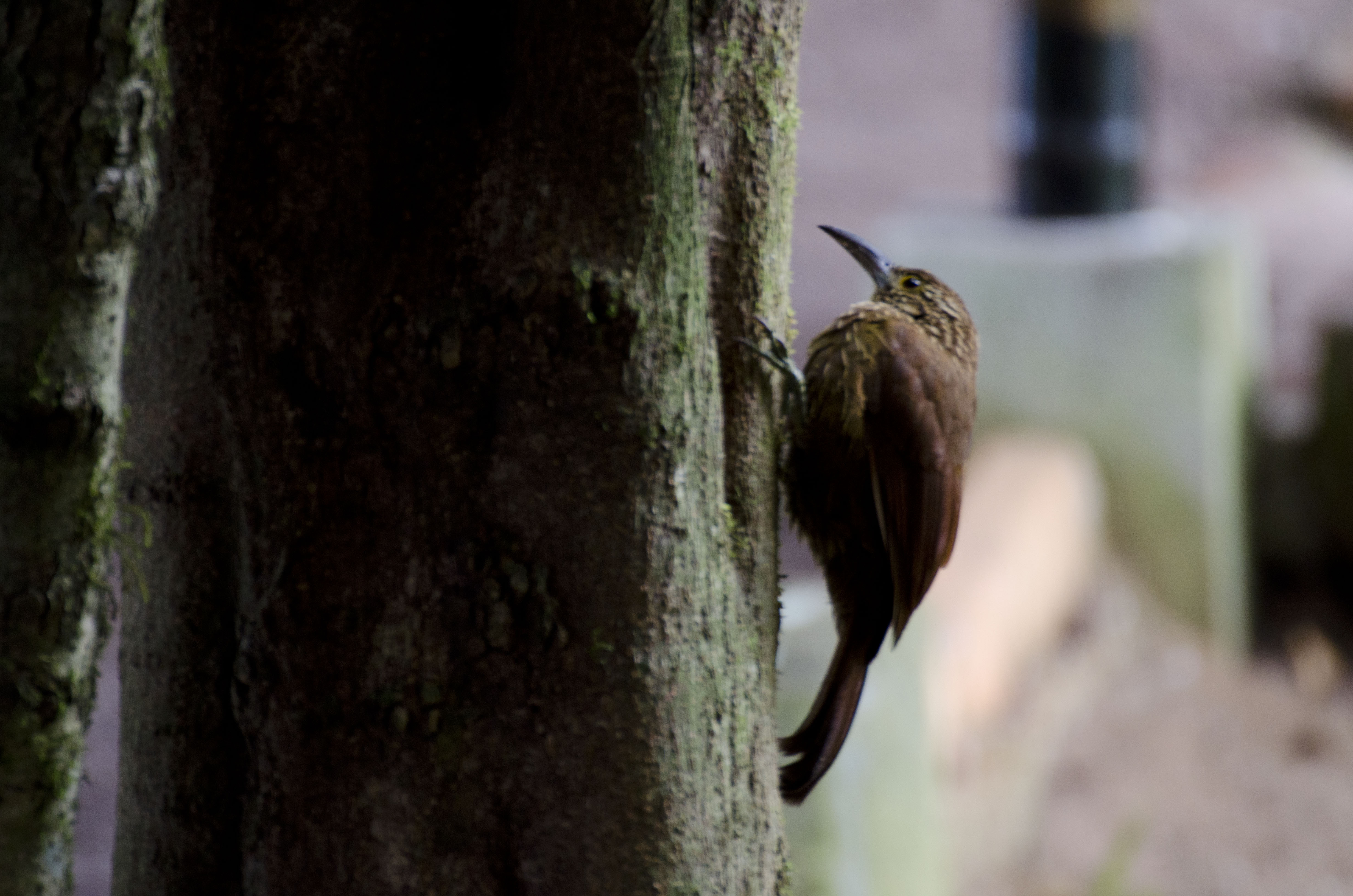 A Strong-billed Woodcreeper - check out the tips of his tail feathers.