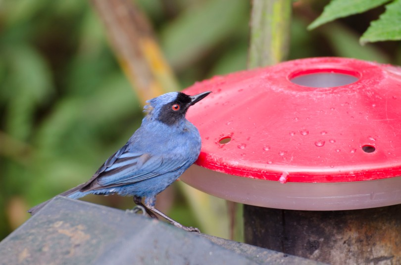 A Masked Flowerpiercer coming for his sugar fix.