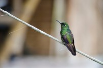 Another Andean Emerald Hummingbird?