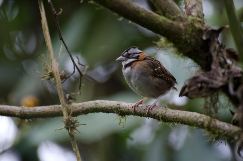 A common Rufous-collared Sparrow.