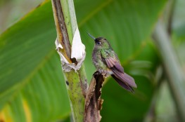 Unidentified hummingbird - anyone care to take a guess?