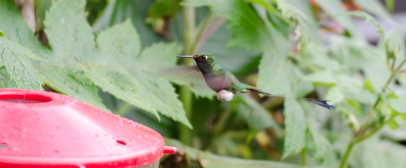 Booted Racket-tail Hummingbird at the feeder.