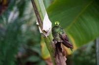 An unidentified hummingbird - help, please!