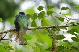 Male Masked Trogon