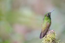 Andean Emerald Hummingbird