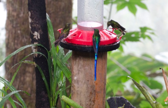 Violet-tailed Sylph Hummingbird in the center of the feeder.
