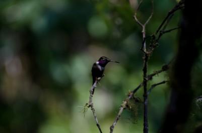Gorgeted Sunangel Hummingbird
