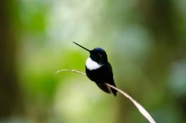 Collared Inca Hummingbird.
