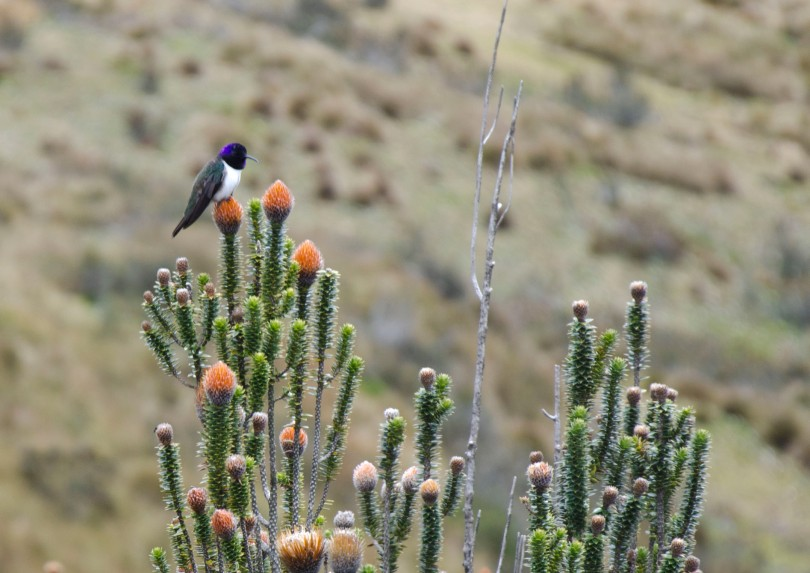 Ecuadorian Hillstar Hummingbird