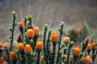 These orange pincushion flowers grow wild at about 14,000 feet on the slopes of the Volcano Pinchincha.