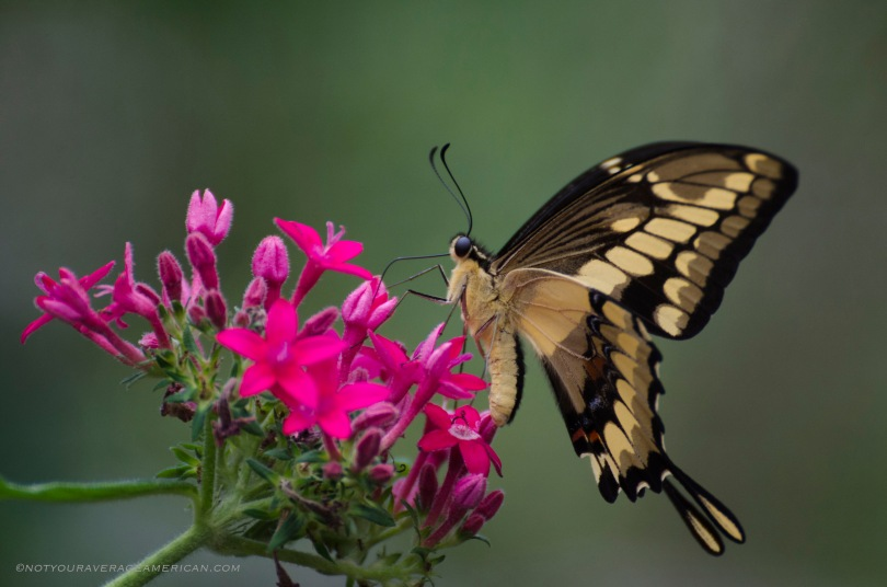 Swallowtail Butterfly from the Mindo Mariposario