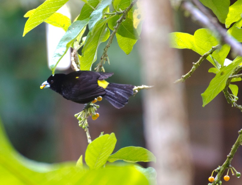 Male Lemon-rumped Tanager seen at the Hostería Mariposa in Mindo.