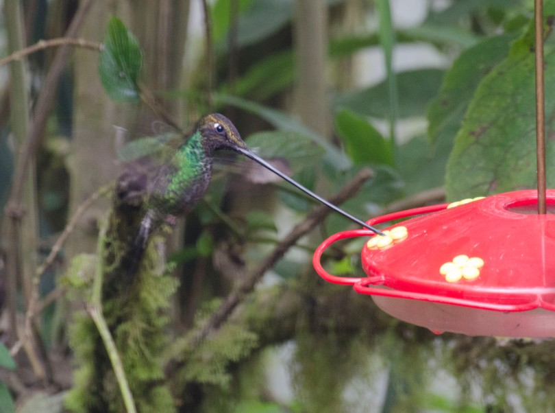 A Sword-billed Hummingbird at the feeder.