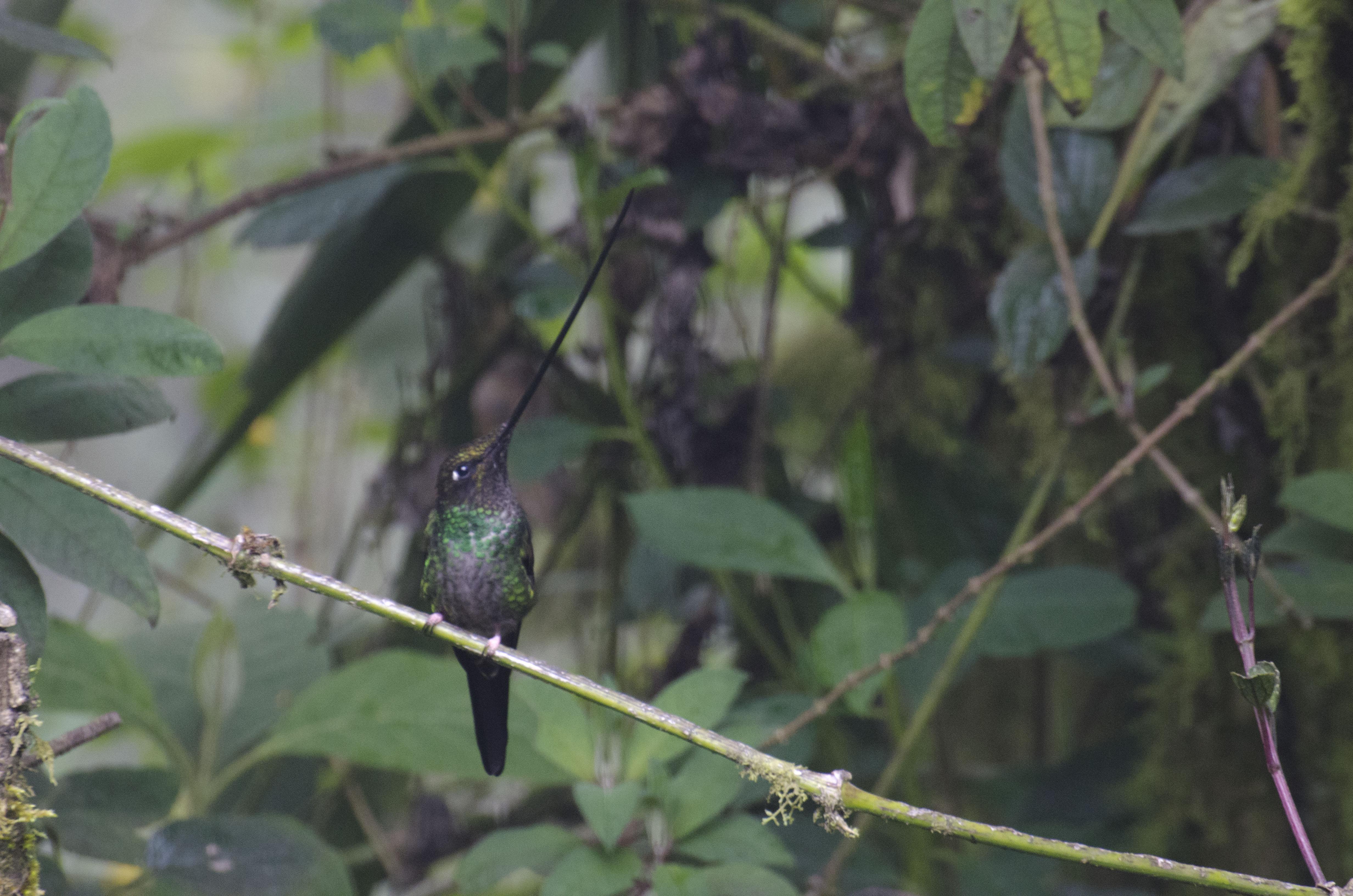 A Sword-billed Hummingbird at rest.