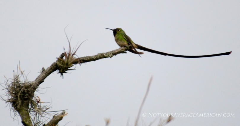 We saw this lovely Black-tailed Trainbearer (male) on the Casa de las Aves trail at the Jerusalem Regional Park in Pinchincha, Ecuador.