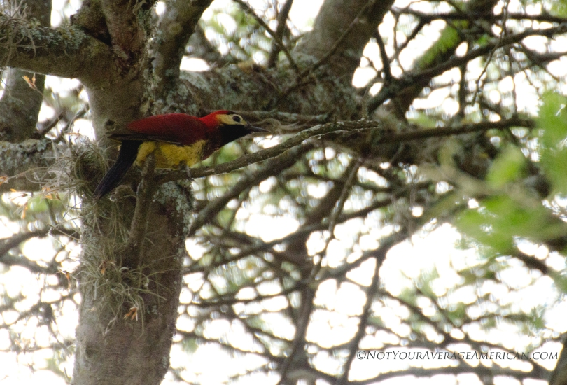 This female Crimson-mantled Woodpecker was hopping around near the administrative building at the Jerusalem Regional Park in Pinchincha, Ecuador.