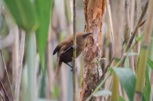 This Rufous wren was one of several hopping along the reeds.