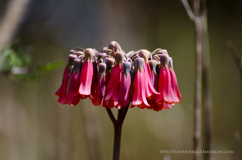 These blossoms come from a type of succulent growing at the Jerusalem Regional Park in Pinchincha, Ecuador.