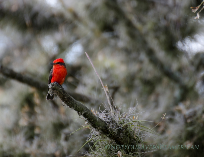 Vermillion Flycatcher seen at the Jerusalem Regional Park in Pinchincha, Ecuador.