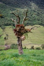 Bromeliads and orchids thrive in trees like these.