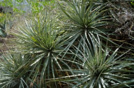 Aloe vera! This desert is full of useful plants.