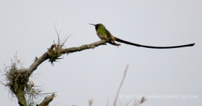 A male Green-tailed Trainbearer.
