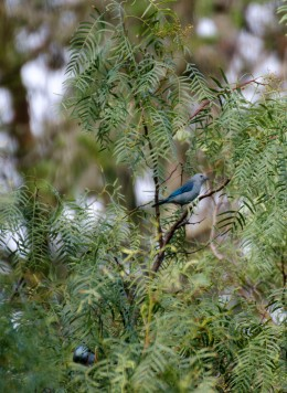 A Blue-gray Tanager.