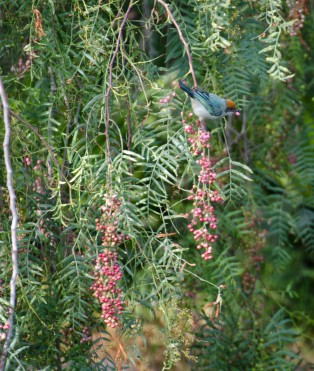 A Scrub Tanager snacking on berries.
