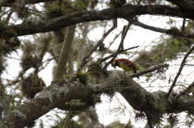 A female Crimson-mantled Woodpecker.