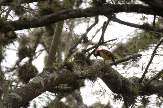 A female Crimson-mantled Woodpecker.