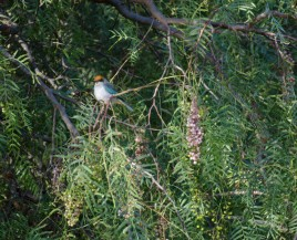 A Scrub Tanager in clear view.