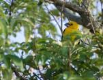 Close-up of a Southern Yellow Grosbeak