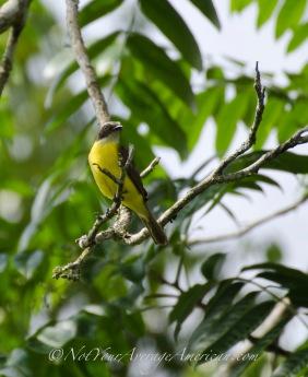 A Social Flycatcher or Mosquero Social.