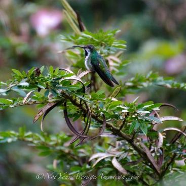 Black-throated Mango Hummingbird (female) or Mango Gorjinegro (hembra)