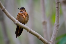 The Shining Sunbeam Hummingbird loved the area around the hot springs.