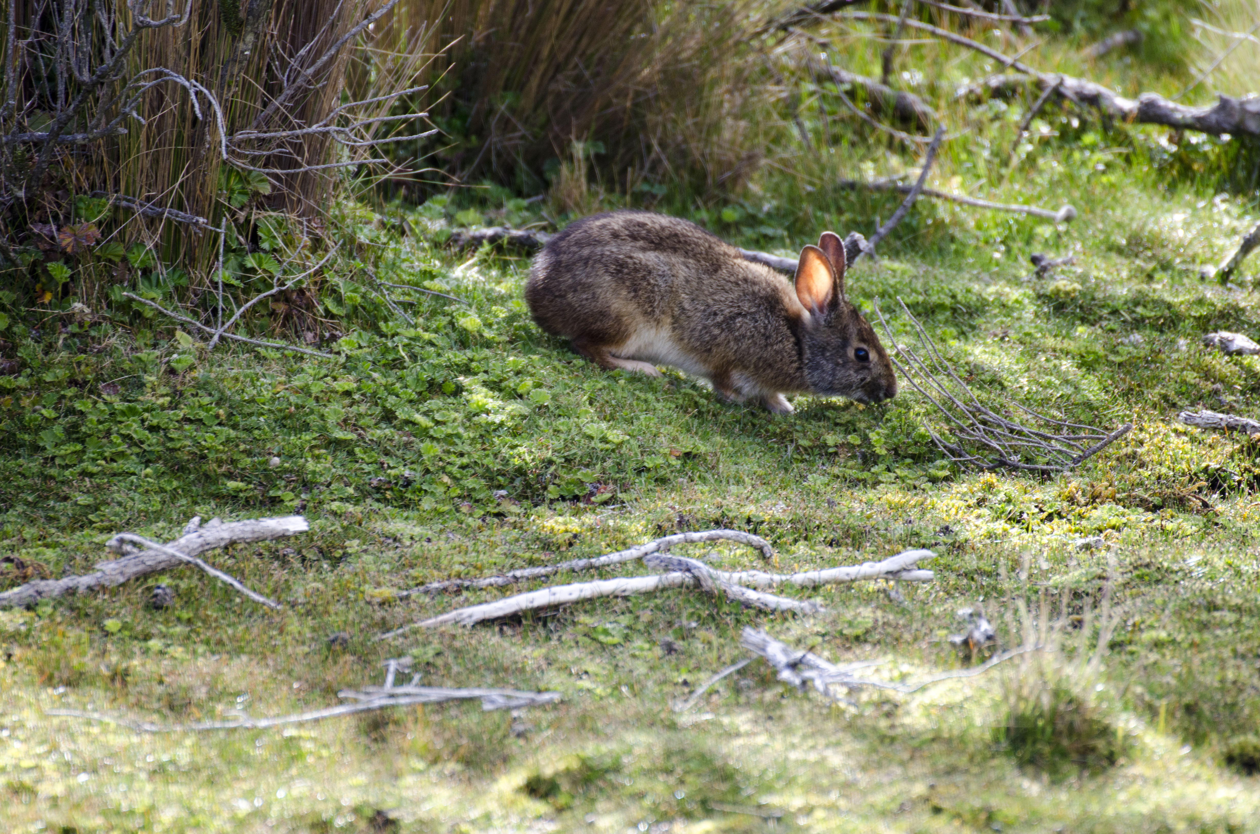 There were several rabbits to be seen on the trail at Limpiopungo.
