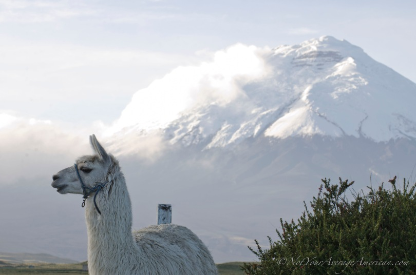 This Alpaca is part of the herd at Los Mortinos, a small hostería just outside the North Entrance of Cotopaxi National Park.