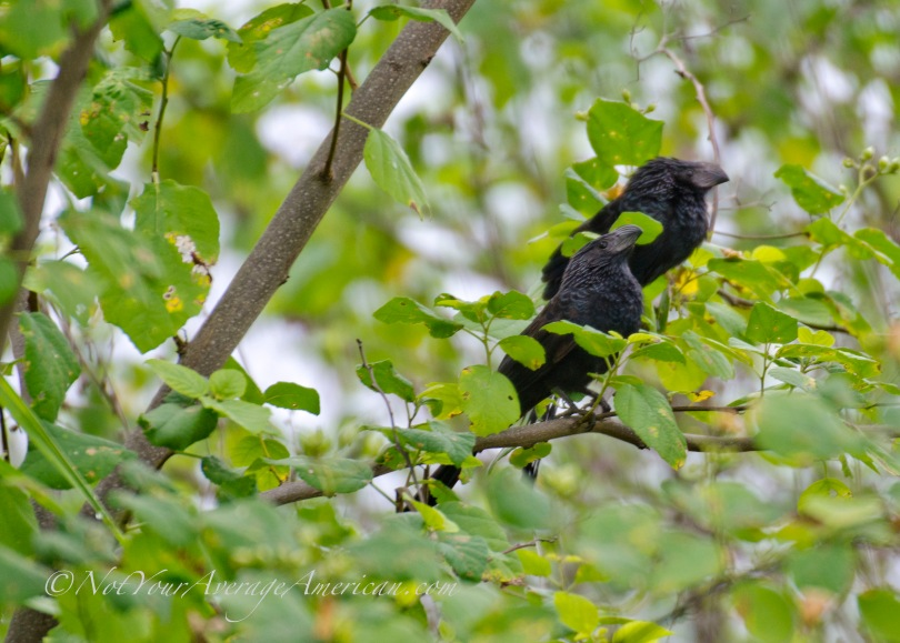 A pair of Groove-billed Ani or Garrapatero Piquiestriado found at Chirije near Bahía de Caraquez in Manabí Province, Ecuador.