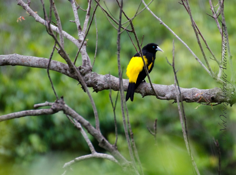 A Yellow-rumped Cacique at Chirije Lodge not far from Bahia de Caraquez, Ecuador;