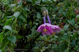 Flowers from a relative of the passion fruit... yes they grow wild here!
