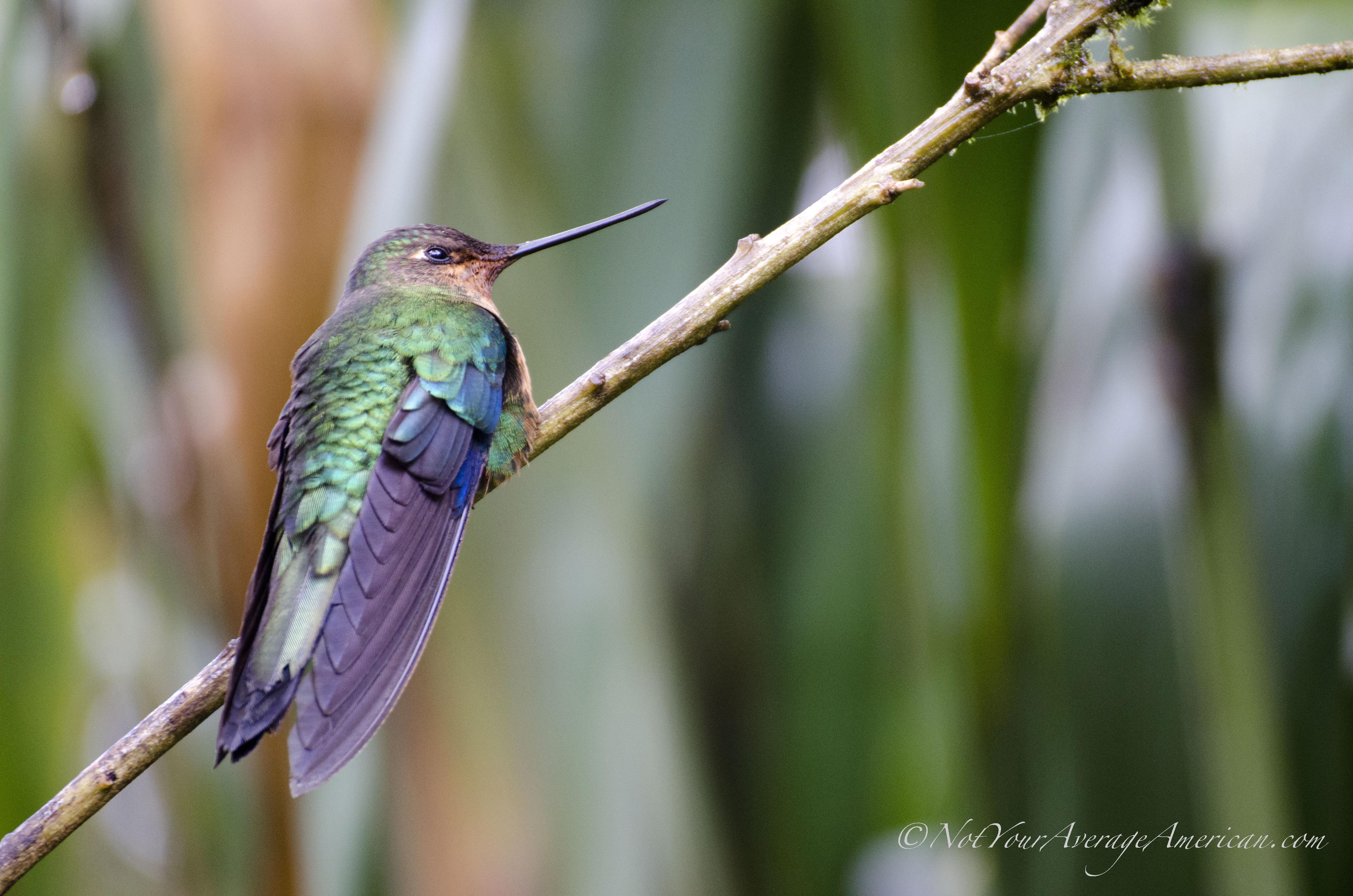 Fawn-breased Brilliant hummingbird or Brillante Pechianteado