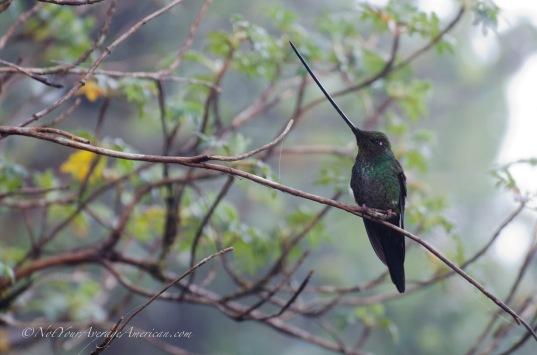 Sword-billed Hummingbird or Colibrí Pica Espada